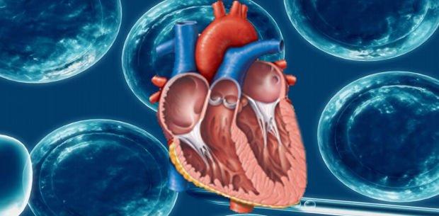 regeneración de corazones a través de células madre