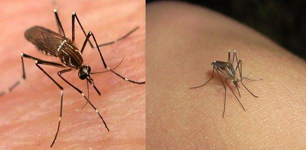 cómo identificar el mosquito de Dengue