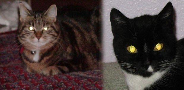 por qué los ojos de los gatos brillan en la oscuridad