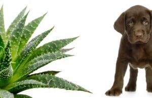 uso externo del aloe vera en los perros