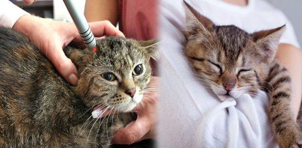 SIDA en gatos