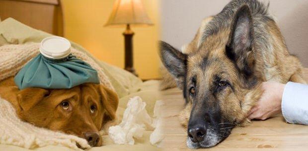 síntomas de moquillo en mascotas