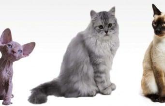 razas de gatos que viven más años