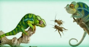 alimentación de camaleones domésticos