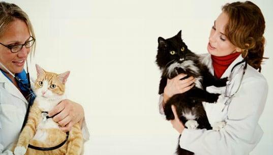 cálculos urinarios en gatos