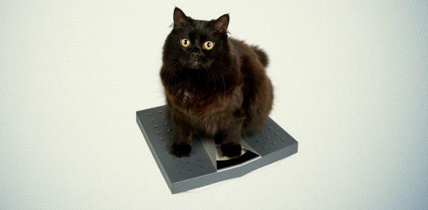 peso ideal en los gatos