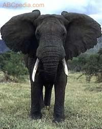 Foto de elefante Africano