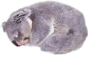 foto de koala durmiendo