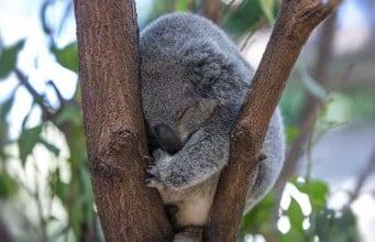¿Cuantas horas duerme un koala por día?