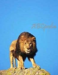 león a punto de atacar
