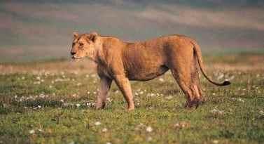 foto leona y cachorro