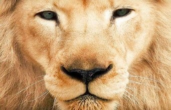leon con su melena
