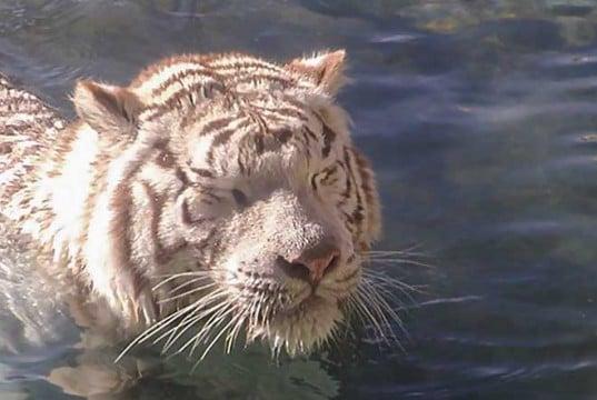 foto de un tigre nadando en el agua
