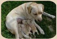 crias-labrador-criadero