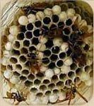 Foto de un nido de avispas (pequeños en comparación con los panales de abejas).