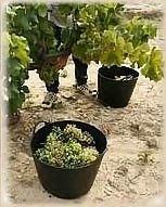 Cultivos de la uva de la suerte