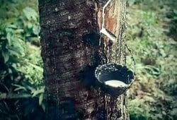 Recolección natural de caucho: se cortan surcos diagonales en el tronco que desembocan en una canaleta para llenar un recipiente.