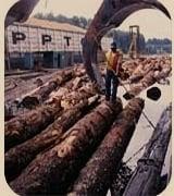Los troncos de coníferas se utilizan para la producción de papel a gran escala.